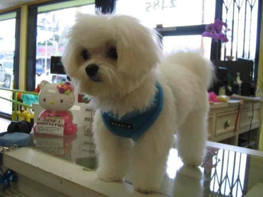 Maltipoo Haircut Styles for Pinterest