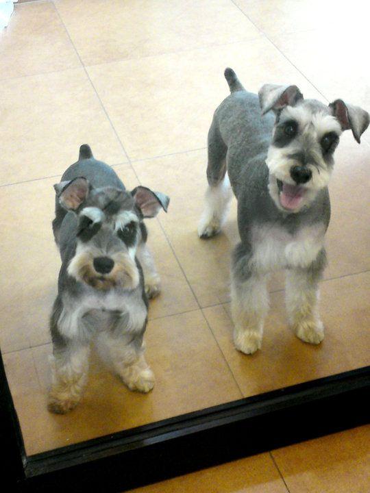 miniature schnauzer grooming cuts - Google Search