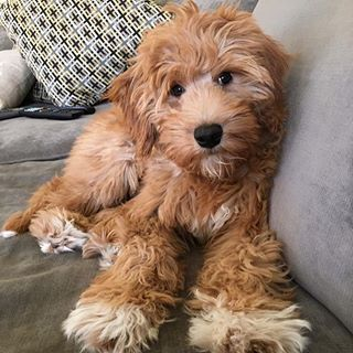 mr. cruiser mini goldendoodle - Google Search