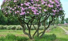 boom rhododendron. De opgeknipte 'boomrhododendrons' zijn goed te gebruiken als groen solitair element. Ook wanneer ze niet bloeien zijn ze door hun grillige stamvormen een echte blikvanger.