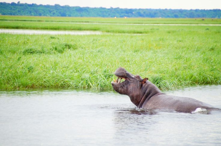 A hippo that shoes his big mouth -  Chobe Botswana