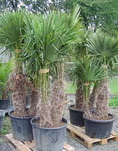 Trachycarpus fortunei palma de molino de viento palmera for Molinos de viento para jardin
