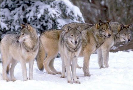 Instinctual, ancestral or scientific diets? wolves, carnivores, petfood, dogfood