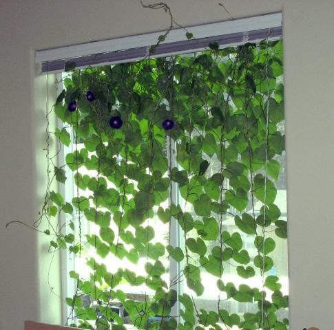 Morning Glory Curtains! I'm looking for ways to grow Morning Glories inside as I don't think I'll have space outside this year.