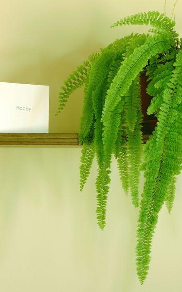 Zimmerpflanzen für dunkle Räume: Frauenhaarfarn