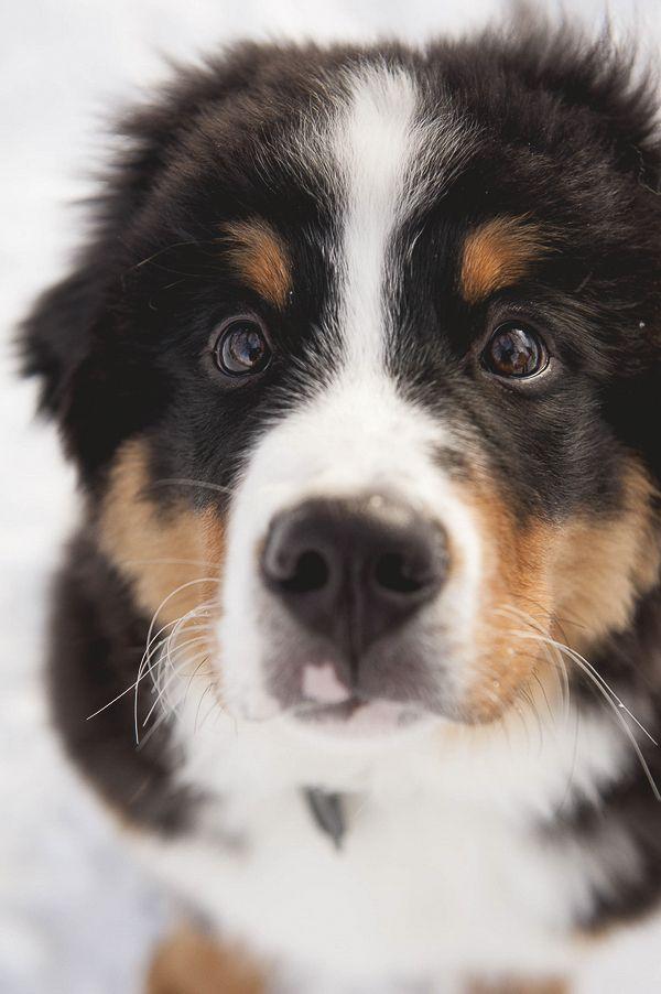 Bernese Mountain Dog puppy   © Ashleigh Miller Photography | Colorado Dog Portraits