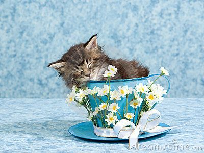 Brown Maine Coon kitten sleeping inside over size cup decorated with daisies and bow