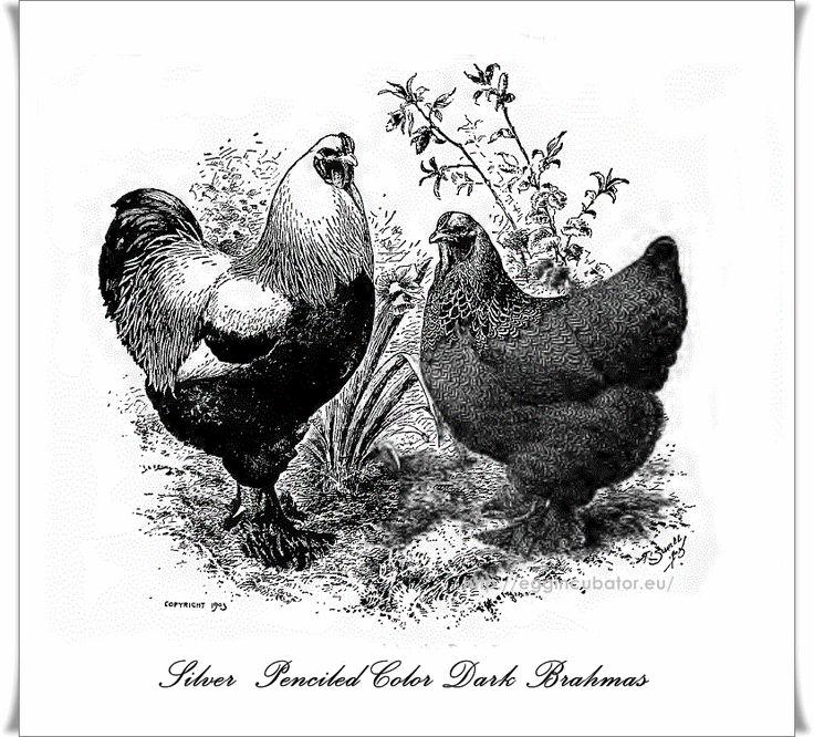 Silver Penciled Dark Brahma Hen & Rooster