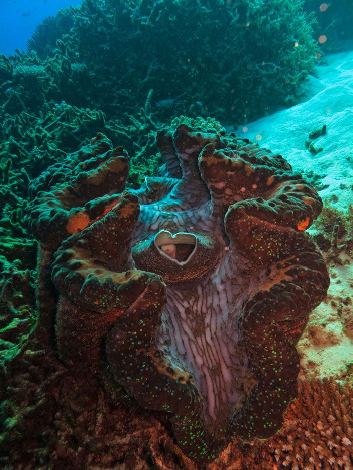 Giant Clam on Great Barrier Reef in Cairns Visit us on http://brucestevensdental.com.au