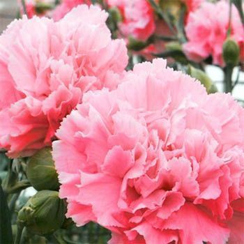 """The pink version of the fragrant """"Grenadin"""" carnation.  Smaller than a florist's carnation, these puppies are bred for their powerful fragrance."""