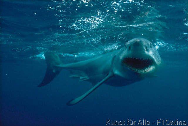Großer Weißer Hai, Unangenehm, Drohen