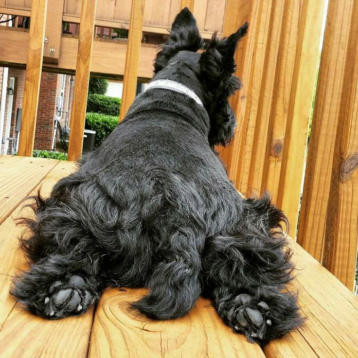 Schnauzer And Scottish Terrier 587 best images...