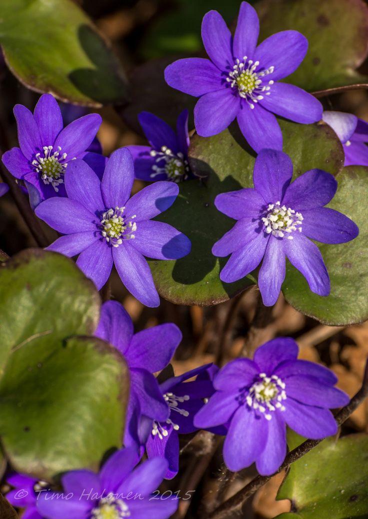 https://flic.kr/p/r9rH86 | Hepatica nobilis | Sinivuokko, liverleaf, or liverwort Lens used Nikkor AF-S 70-300mm f/4.5-5.6G VR
