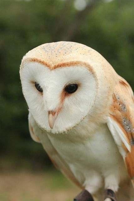 Barn Owl ♥ Little barn owls I remember from my childhood days...