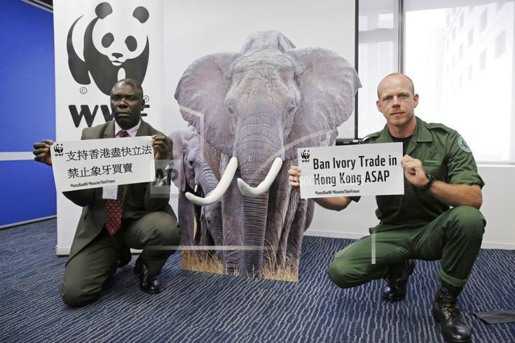 CHINA, Hong Kong - Hong Kong ivory ban could hurt Africa's elephants before it helps them  - June 6, 2017.  Hong Kong's approval of a ban on ivory sales could stem ivory trade in Asia, but acquiescing to traders' demands for compensation could spur more elephant poaching in Africa.