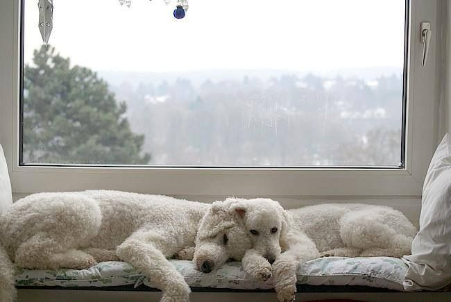 Sleepy poodles.