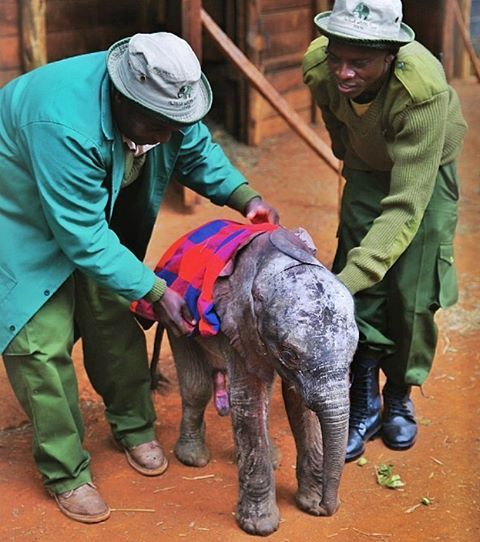 We rescued #Ndotto in 2014, when he was just 48 hours old. He's had an infectiously cheerful personality since day one, and loves to make everyone — human and elephant — happy. We can usually find him roping a fellow orphan into a game or running up and down the rope cordon to greet visitors! Help this special little elephant grow by fostering him today. Visit: ►thedswt.org/ndotto◄ (link also in bio) • • • Image © David Sheldrick Wildlife Trust