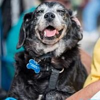 ♨️ 9-21-17: Transfer, PA:  Cornbread; Breed: Terrier (Unknown Type, Small) Mix Color: Black - With Gray Or Silver Age: Senior : Size: Small 25 lbs (11 kg) or less Sex: Safe - 9-21-2016 Manhattan  Rescue: Feline Rescue of SI I am already neutered, housetrained, up to date with shots, good with dogs, and good with cats. Cornbread is a delight. He is supposedly ⚠10 years old but if he is that old, he's quite spry for an old man. He can easily jump onto the bed or couch.