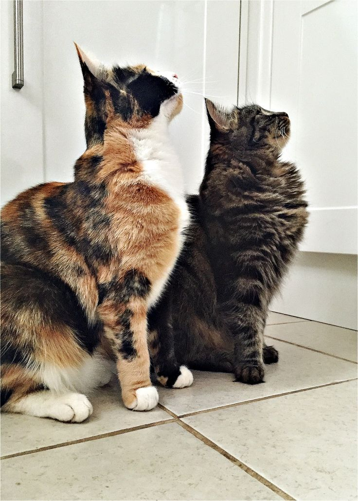 Chilli and Nutmeg the Calitabby #Cats 'admire' a birthday cake.   They are the inspiration behind a birthday #card available at Thortful