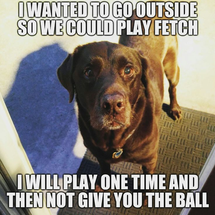 Let's play! Chuckie the Chocolate Lab #TeamChuckie