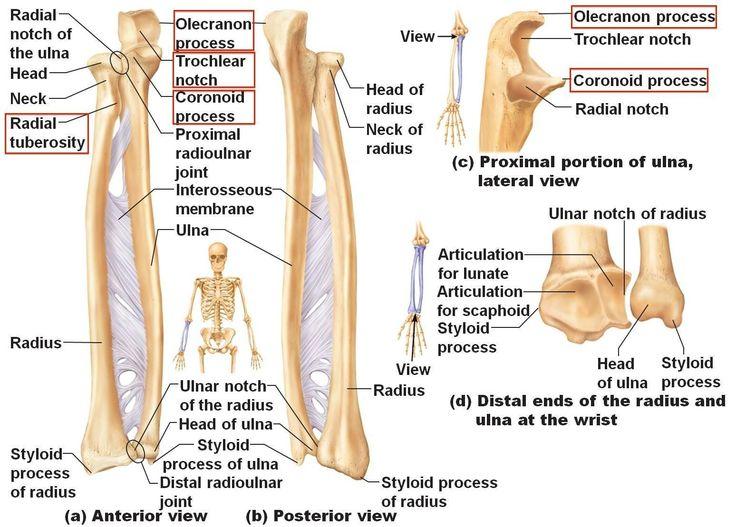 best 25+ ulna bone ideas on pinterest | radius bone, hand bone, Human Body