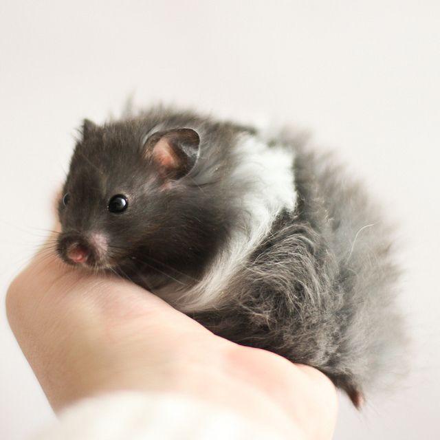 Black Banded Longhaired Syrian hamster