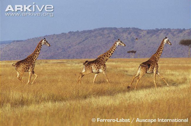 Giraffe photos - Giraffa camelopardalis | ARKive