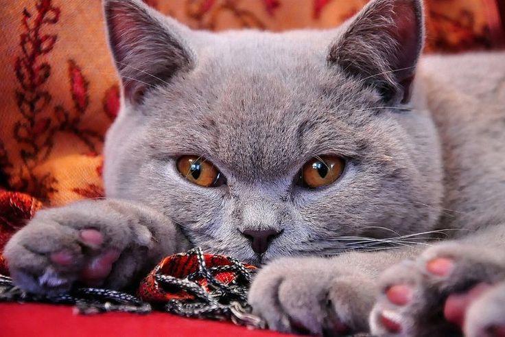 Britische Kurzhaar Katze grau