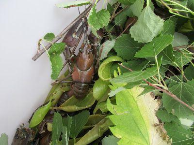 crayfish feast,  rapujuhlat