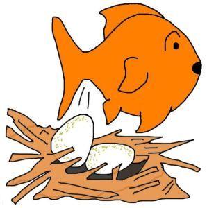 Goldfish breeding: How to breed goldfish