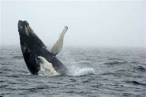 Whale Sightings - Keltic Express Zodiac Whale Watching Adventures on the Cabot Trail, Cape Breton Island, Nova Scotia, Canada