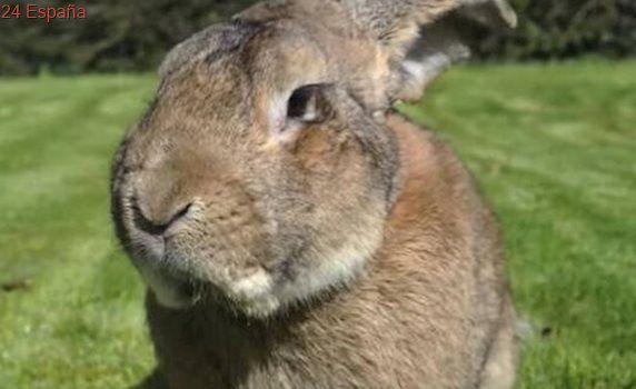 Nueva polémica en United Airlines: muere un conejo gigante durante un vuelo a Londres