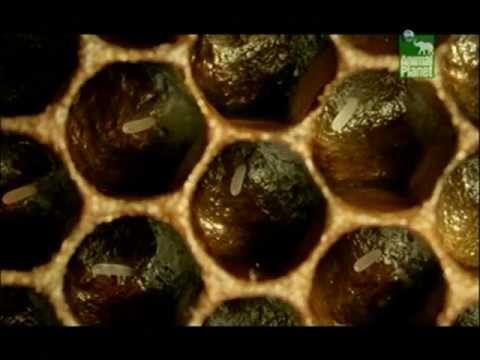 Včely zabijáci CZ - YouTube