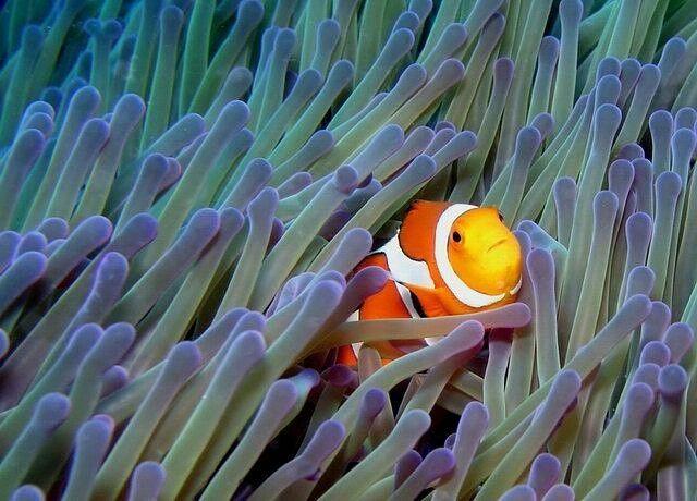 Anemone fish Grand Luley Resort Manado