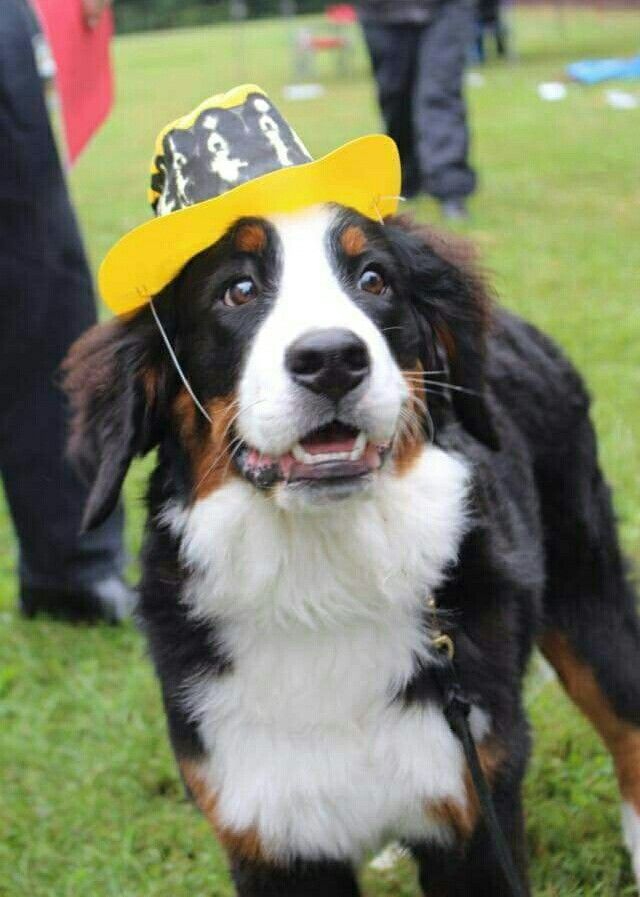 Best Bernese Mountain Dog Dog Breed Images On Pinterest - 20 reasons why you should be thankful to have a dog