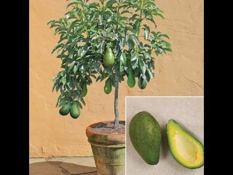 mi planta de aguacate enana evolución
