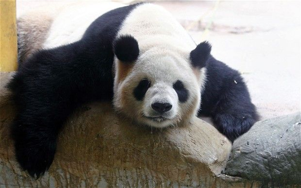 Panda FAKES PREGNANCY for EXTRA TREATS and better accommodation!