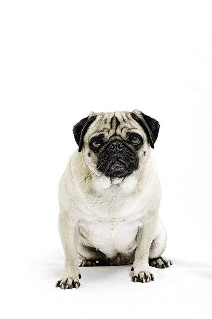 not badCaramelle Caramelle, Andries Linz,  Pug-Dog, Character Portraits, Pets Photography