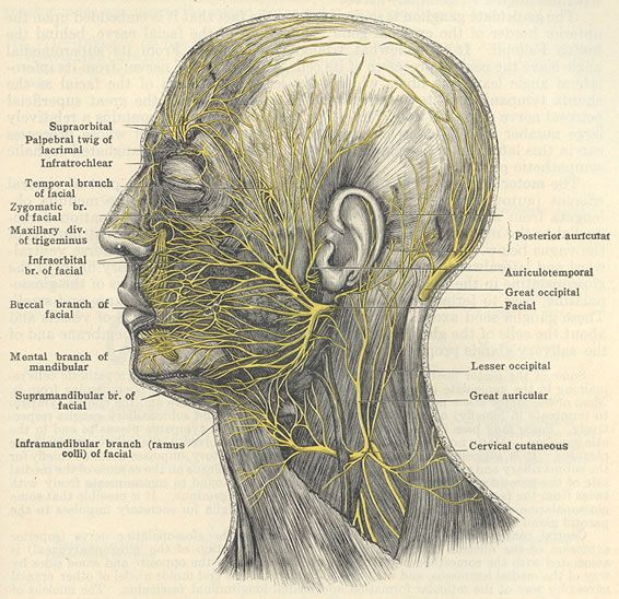 Beauty isn't skin deep; the facial nerve is beautiful! Course of the facial nerve, great occipital and cervical cutaneous nerves. So pretty! Tags: medical, human, body, anatomy, head, skull, neck, muscle, health, dissection, science, nature