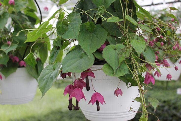 Keijunmekko 'Purple Bells'