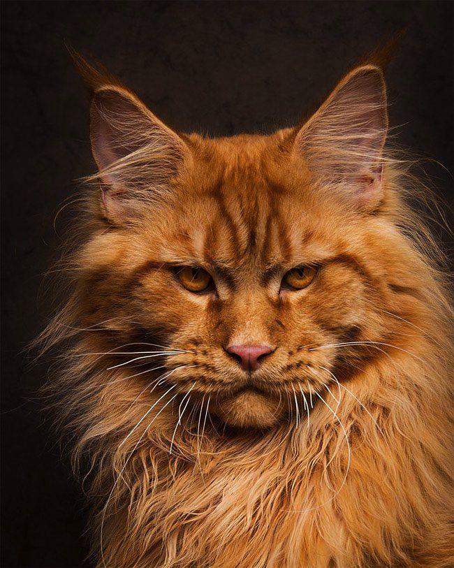 Robert Sijka est un spécialiste de la photographie animalière et un grand passionné des chats en particulier des Maine Coonpour lesquels il a consacré une fascinante série de portraits.   Mystiques portraits Qualifiée de 'Gentle Giants' en bon français Gentils Géants, l'une des plus belles espè