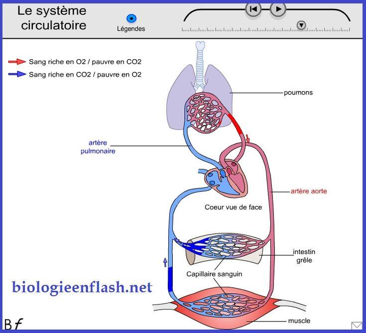 système circulatoire                                                                                                                                                                                 Plus