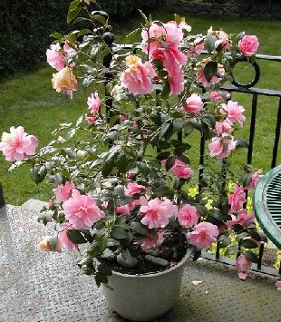 Camelia camelia in a pot garden outdoor living for Garden plant information