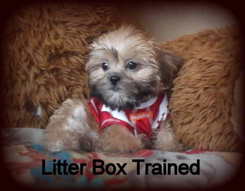 SHORKIE PUPPIES day! Aug 24!!. See videos! Yorkie Shih Tzu puppies mix