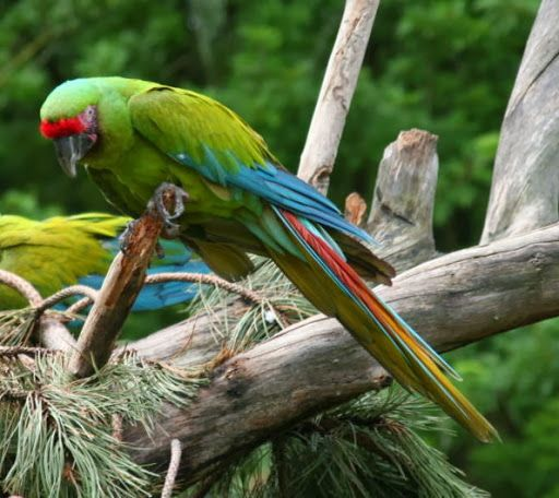 The Great Green Macaw (Ara ambiguus), also known as Buffon's Macaw or the Great Military Macaw, is a Central & South American parrot found in Nicaragua, Honduras, Costa Rica, Panama, Colombia & Ecuador. The parrot is endangered, & has been one of the key elements in the proposal for the formation of a new National Park in Costa Rica, Maquenque National Park. Already significant parts of the bird's existing habitat is covered by Nature reserves & other conservation projects.