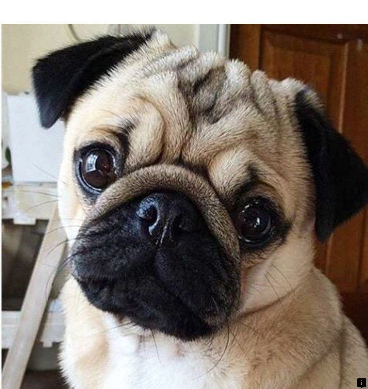 Check Out The Link For More Pug Puppies Near Me Just Click On The