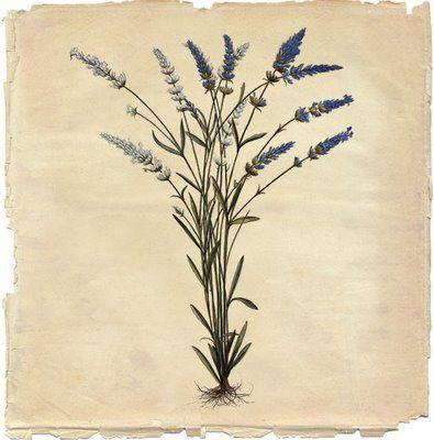 lavender illustrations - Google Search