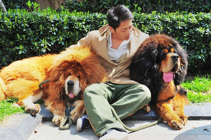 """Not so little.  Tibetan mastiffs after they were sold at a """"luxury pet"""" fair in Hangzhou, in eastern China's Zhejiang province.  One of the Tibetan mastiff puppies (L) was sold in China for almost two million USD."""