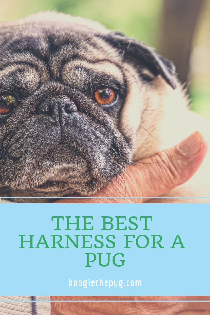 The Best Harness For Pugs The Pug Community Weighs In Pugs Pet