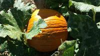 Gilcrease Orchard- Pumpkin Patch